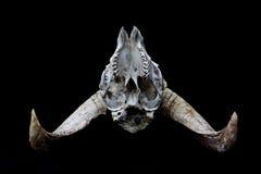 在黑背景的有角的Ram绵羊头骨头 免版税图库摄影