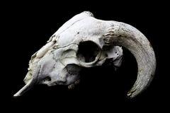 在黑背景的有角的Ram绵羊头骨头 库存图片