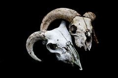 在黑背景的有角的Ram绵羊头骨头 免版税库存图片