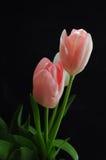 在黑背景的桃红色tuplips 免版税库存图片