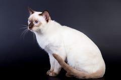 在黑背景的泰国猫 库存图片