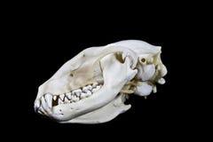 在黑背景的浣熊头骨 图库摄影