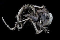 在黑背景的灰鼠骨骼 库存图片
