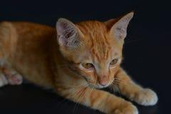 在黑背景的特写镜头红色小猫 免版税库存图片
