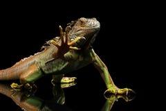 在黑背景的特写镜头绿色鬣鳞蜥 免版税库存照片