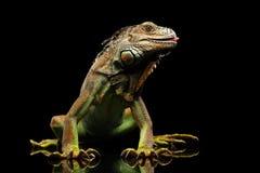 在黑背景的特写镜头绿色鬣鳞蜥 图库摄影