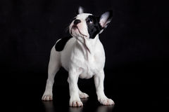 在黑背景的狗法国牛头犬 免版税库存图片