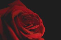 在黑背景的猩红色玫瑰 免版税库存照片