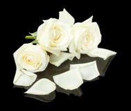 在黑背景的白玫瑰 库存图片
