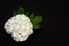 在黑背景的白色八仙花属 库存照片