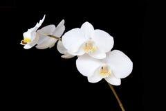 在黑背景的白色兰花分支 库存照片