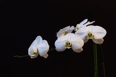 在黑背景的白色兰花 库存图片