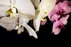 在黑背景的白色和紫色兰花; 库存图片