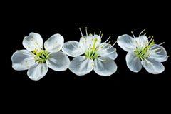在黑背景的白色樱桃花 免版税图库摄影