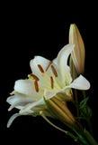 在黑背景的白色百合属植物花 库存图片