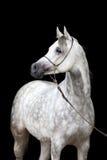 在黑背景的白马画象 免版税库存照片