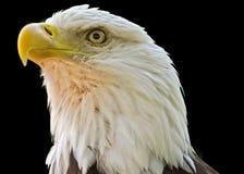 在黑背景的白头鹰 库存图片
