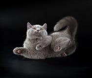 在黑背景的相当英国Shorthair蓝色小猫 库存照片