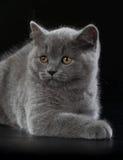 在黑背景的相当英国Shorthair蓝色小猫 免版税库存照片