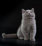 在黑背景的相当英国Shorthair蓝色小猫 免版税库存图片