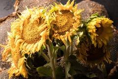 在黑背景的秋天向日葵,与向日葵种子一起 在黑背景的秋天花 摧毁的花 图库摄影