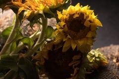 在黑背景的秋天向日葵,与向日葵种子一起 在黑背景的秋天花 摧毁的花 免版税库存照片