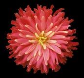 在黑背景的红桃红色黄色花隔绝与裁减路线 特写镜头 粗野的秋天花 免版税库存照片