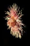 在黑背景的红色和桃红色翠菊 库存照片