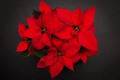 在黑背景的红色圣诞节花一品红 免版税图库摄影
