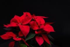 在黑背景的红色圣诞节花一品红 免版税库存图片