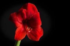 在黑背景的红色孤挺花花 Hippeastrum hortorum 库存图片