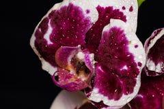 在黑背景的美丽的兰花植物兰花花 库存照片