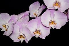 在黑背景的美丽的兰花植物兰花花 免版税库存图片