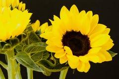 在黑背景的美丽的明亮的向日葵 免版税库存图片