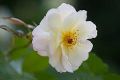 在黑背景的美丽的白玫瑰花 库存图片