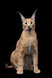 在黑背景的美丽的caracal天猫座 免版税库存图片