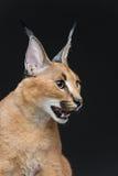 在黑背景的美丽的caracal天猫座 免版税库存照片