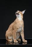 在黑背景的美丽的caracal天猫座 免版税图库摄影
