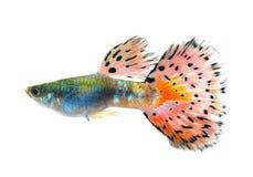 在黑背景的色彩艳丽的胎生小鱼鱼 免版税图库摄影