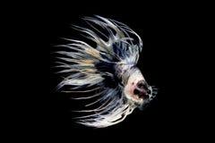 在黑背景的花梢Crowntail Betta孤立 免版税图库摄影