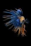 在黑背景的花梢Crowntail Betta孤立 库存照片