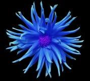 在黑背景的蓝色花隔绝与裁减路线 特写镜头 免版税库存照片