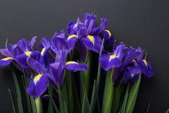 在黑背景的蓝色虹膜 免版税库存照片