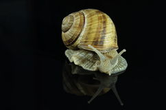 在黑背景的蜗牛 库存图片