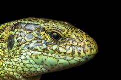 在黑背景的蜥蜴男性画象 免版税库存图片