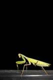 在黑背景的螳螂 库存图片