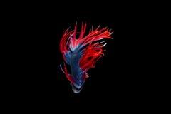 在黑背景的被隔绝的crowntail betta鱼 库存图片