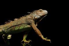 在黑背景的走的绿色鬣鳞蜥 免版税图库摄影