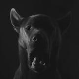 在黑背景的逗人喜爱的灰色泰国ridgeback小狗 免版税库存照片