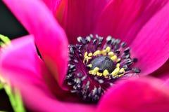 在黑背景的银莲花属花 库存图片